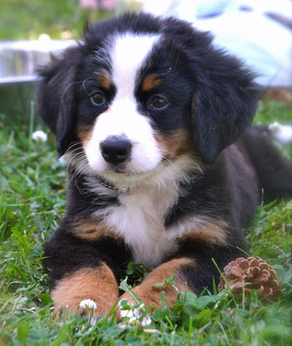 Nature inspired bernese mountain dog bee of design s blog